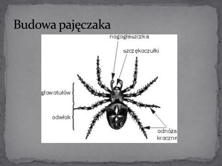 Budowa pajęczaka