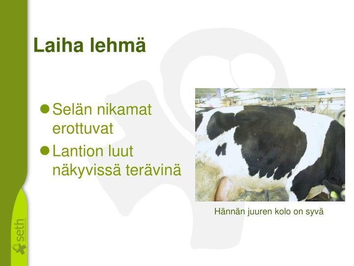 Laiha lehmä