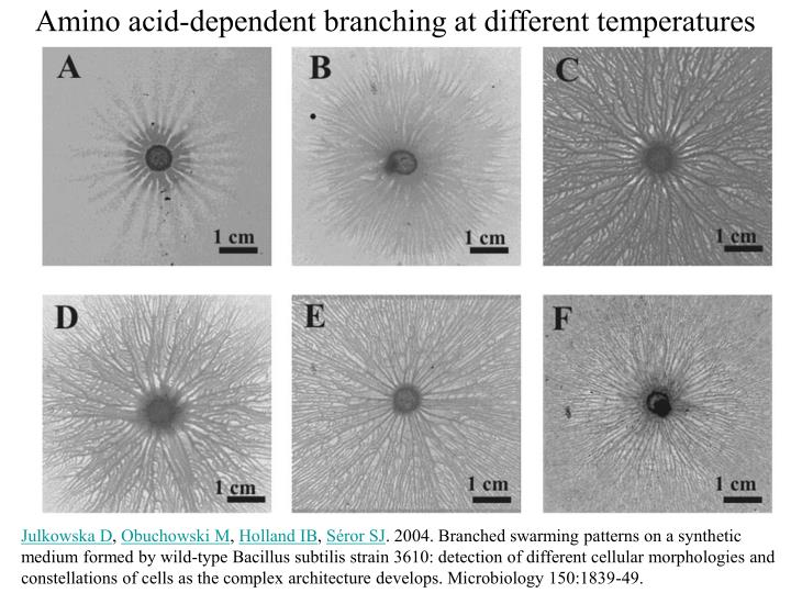 Amino acid-dependent branching at different temperatures