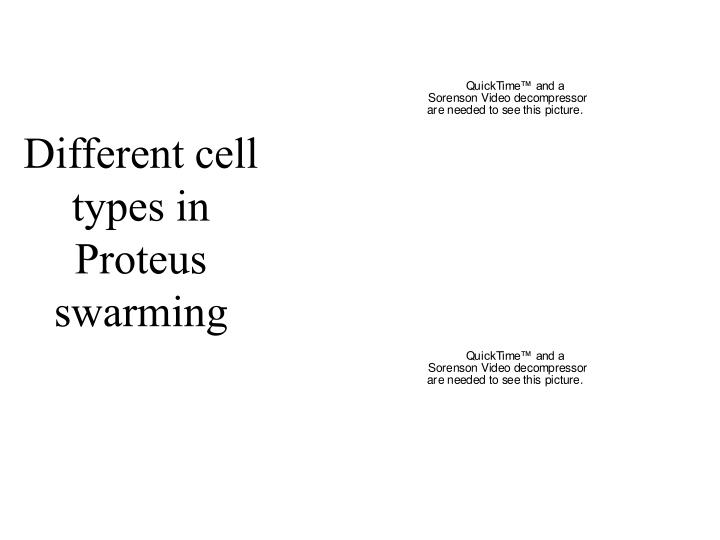 Different cell types in Proteus swarming