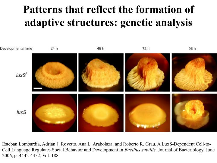 Patterns that reflect the formation of adaptive structures: genetic analysis