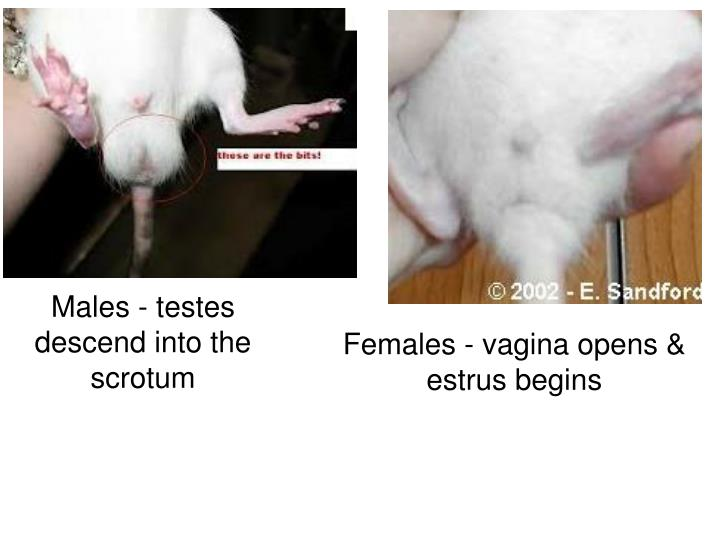 Males - testes descend into the scrotum