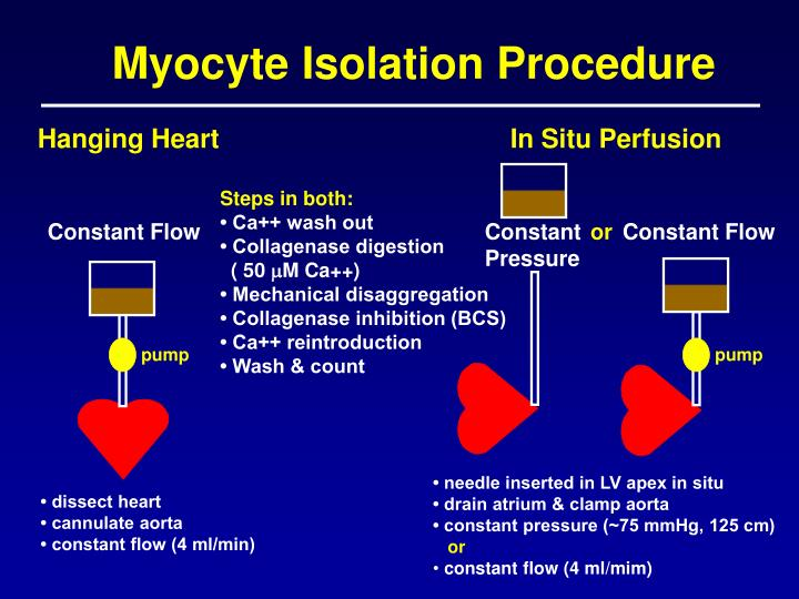 Myocyte isolation procedure