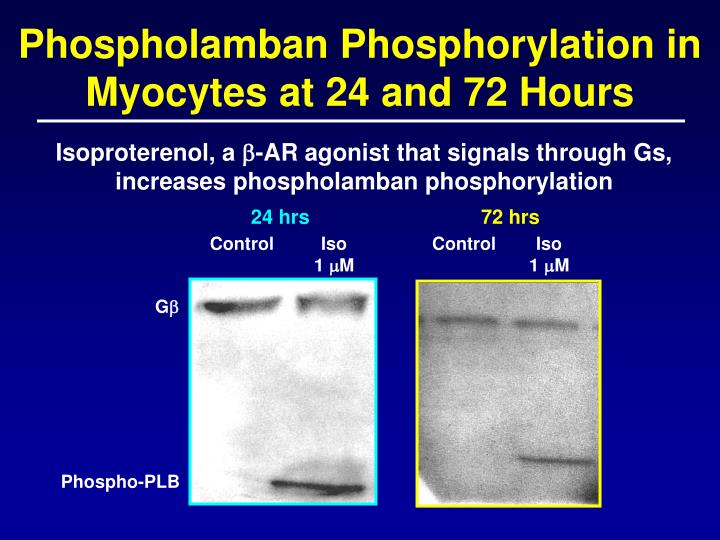 Phospholamban Phosphorylation in