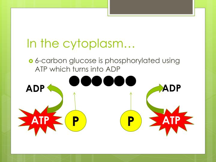In the cytoplasm…
