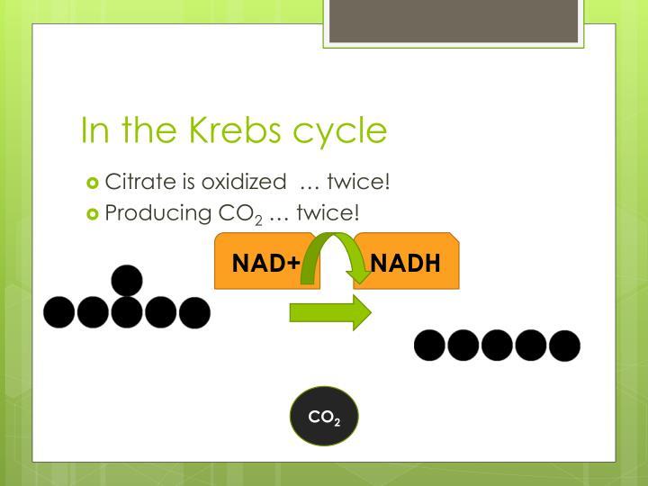 In the Krebs cycle