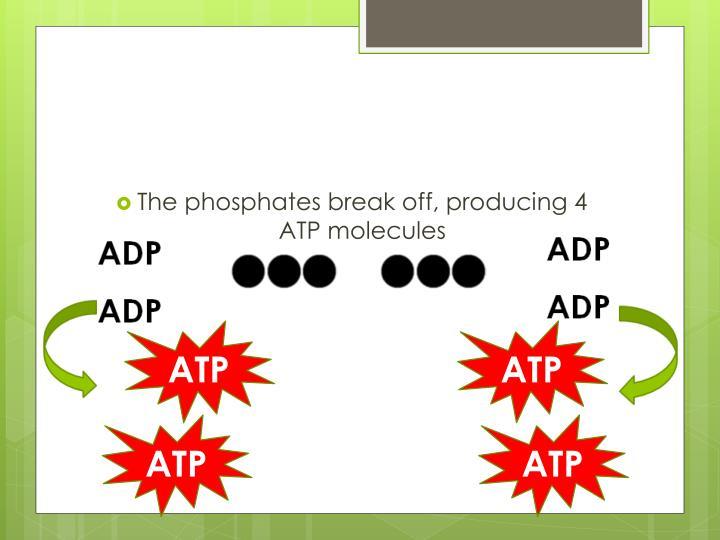 The phosphates break off, producing 4 ATP molecules