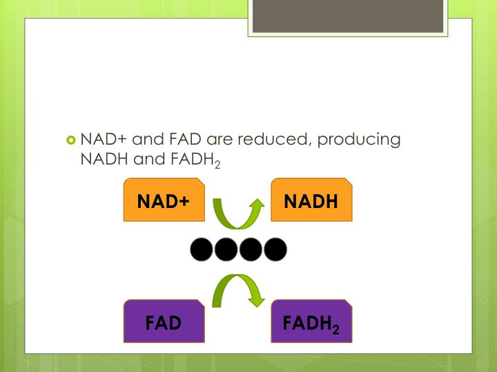 NAD+ and FAD are reduced, producing NADH and FADH