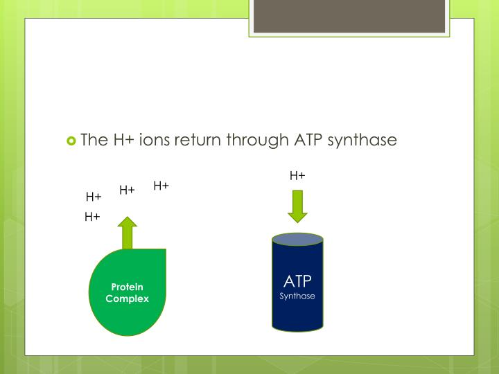 The H+ ions return through ATP synthase