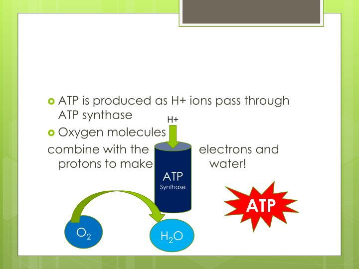 ATP is produced as H+ ions pass through ATP synthase