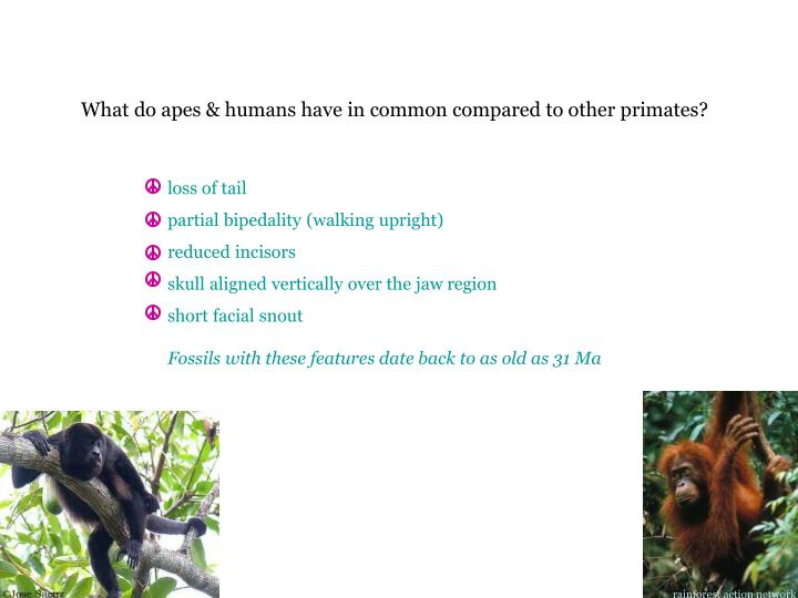 What do apes & humans have in common compared to other primates?