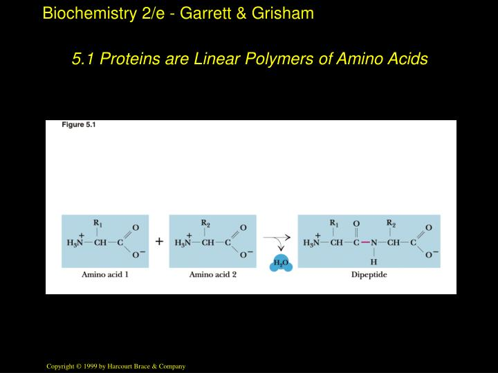 5 1 proteins are linear polymers of amino acids
