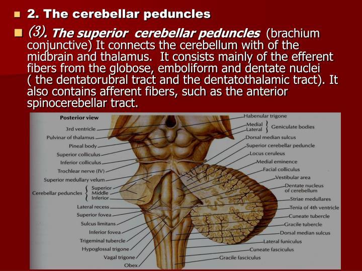 2. The cerebellar peduncles