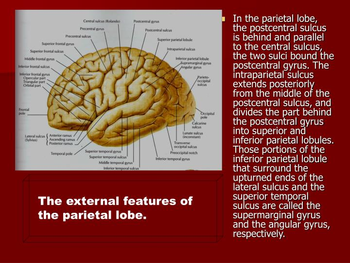In the parietal lobe, the postcentral sulcus is behind and parallel to the central sulcus, the two sulci bound the postcentral gyrus. The intraparietal sulcus extends posteriorly from the middle of the postcentral sulcus, and divides the part behind the postcentral gyrus into superior and inferior parietal lobules. Those portions of the inferior parietal lobule that surround the upturned ends of the lateral sulcus and the superior temporal sulcus are called the supermarginal gyrus and the angular gyrus, respectively.