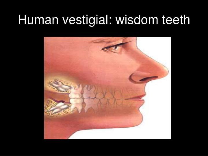 Human vestigial: wisdom teeth