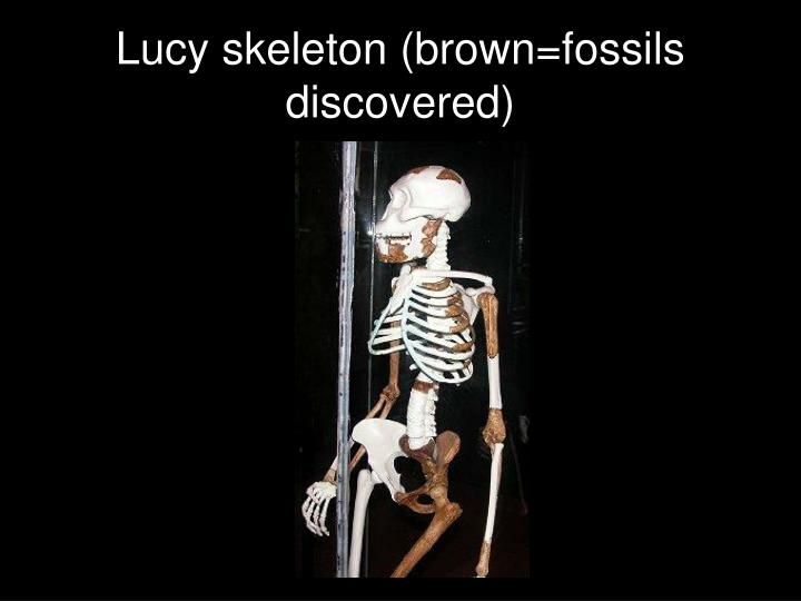 Lucy skeleton brown fossils discovered