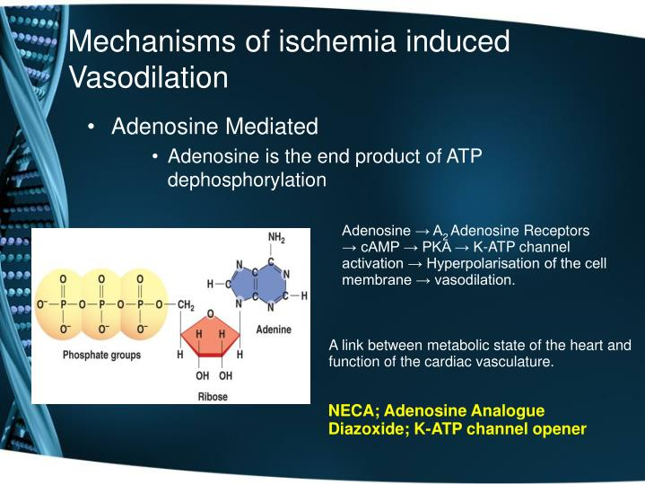 Mechanisms of ischemia induced Vasodilation