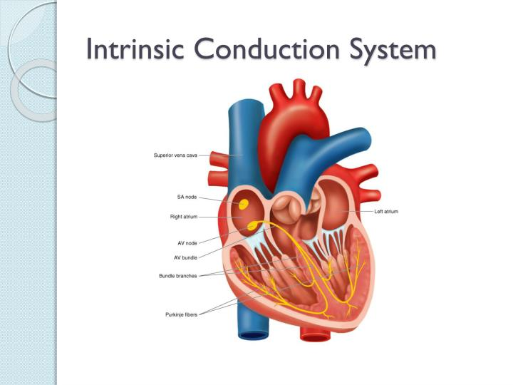 Intrinsic Conduction System
