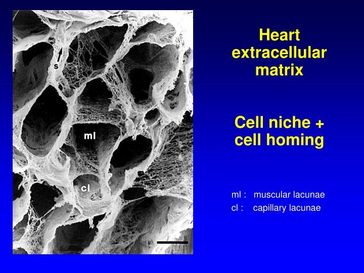Heart extracellular matrix