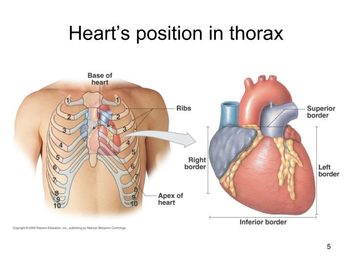 Heart's position in thorax
