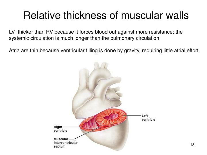 Relative thickness of muscular walls