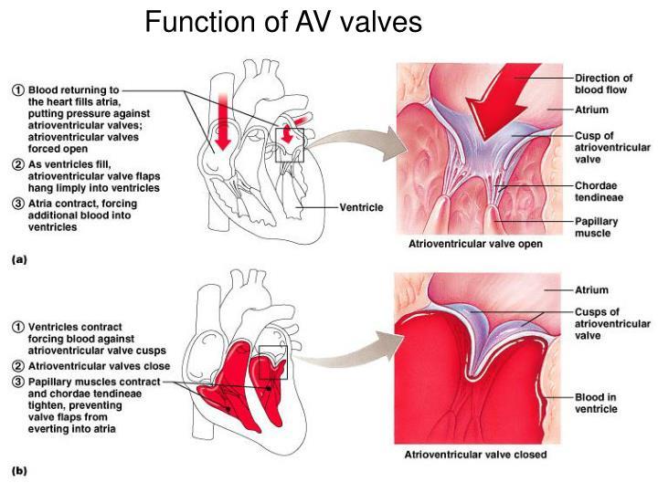 Function of AV valves