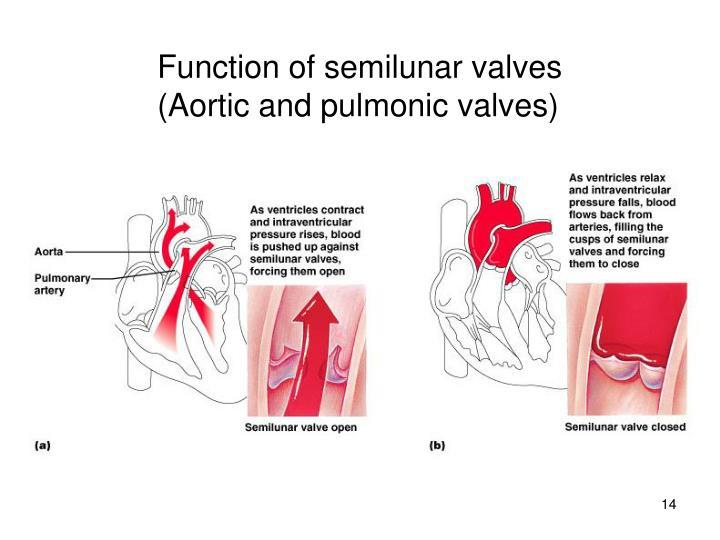 Function of semilunar valves