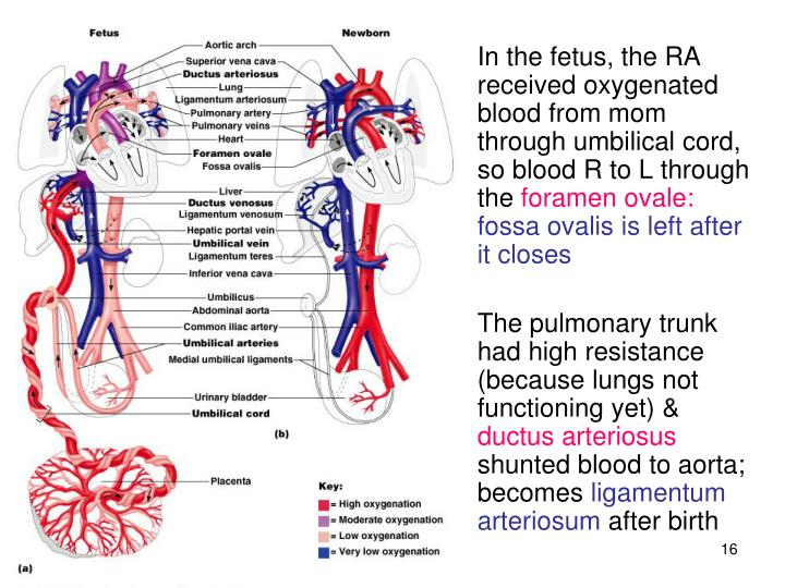 In the fetus, the RA received oxygenated blood from mom through umbilical cord, so blood R to L through the