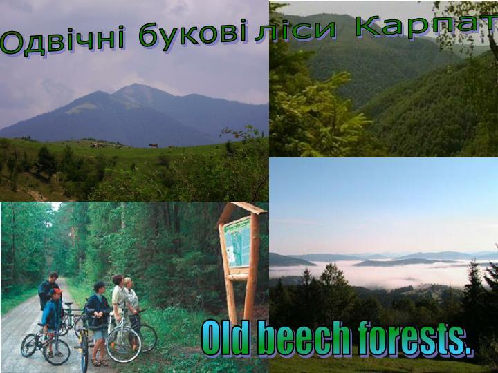 ліси Карпат