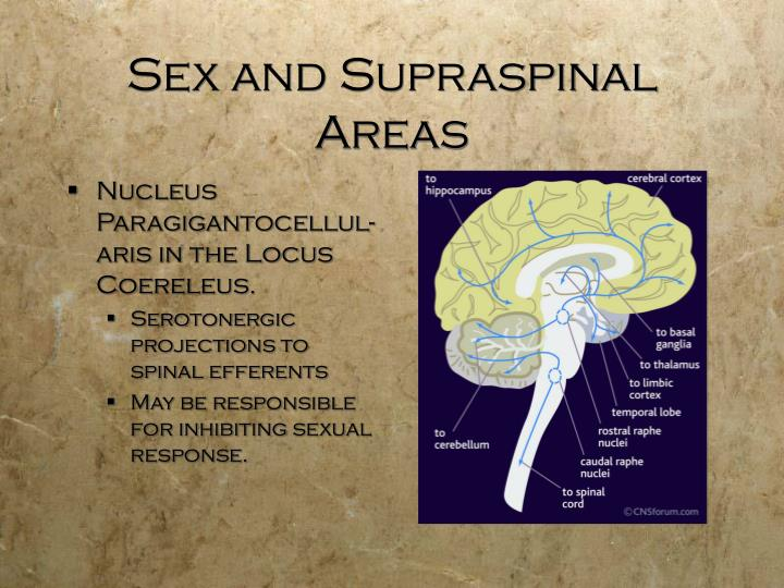 Sex and Supraspinal Areas
