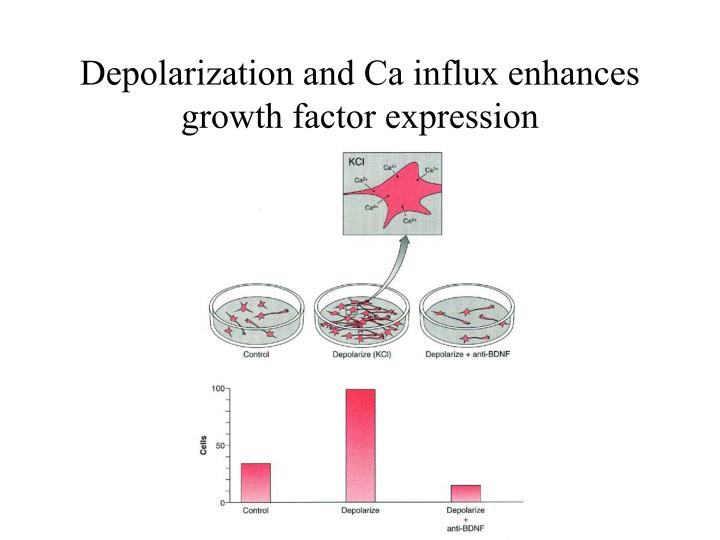 Depolarization and Ca influx enhances growth factor expression