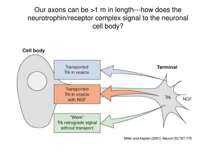 Our axons can be >1 m in length---how does the neurotrophin/receptor complex signal to the neuronal cell body?