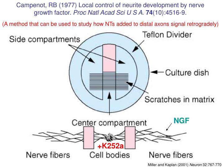 Campenot, RB (1977) Local control of neurite development by nerve growth factor.