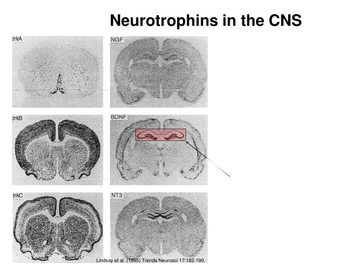 Neurotrophins in the CNS