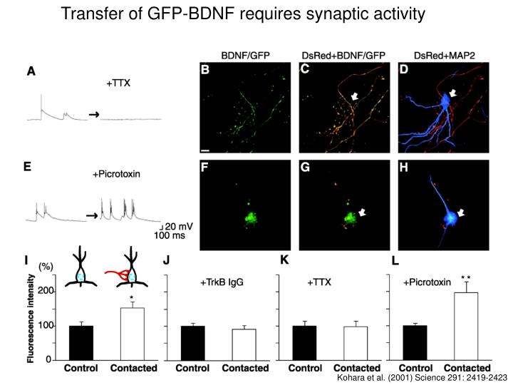 Transfer of GFP-BDNF requires synaptic activity