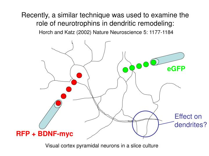Recently, a similar technique was used to examine the role of neurotrophins in dendritic remodeling: