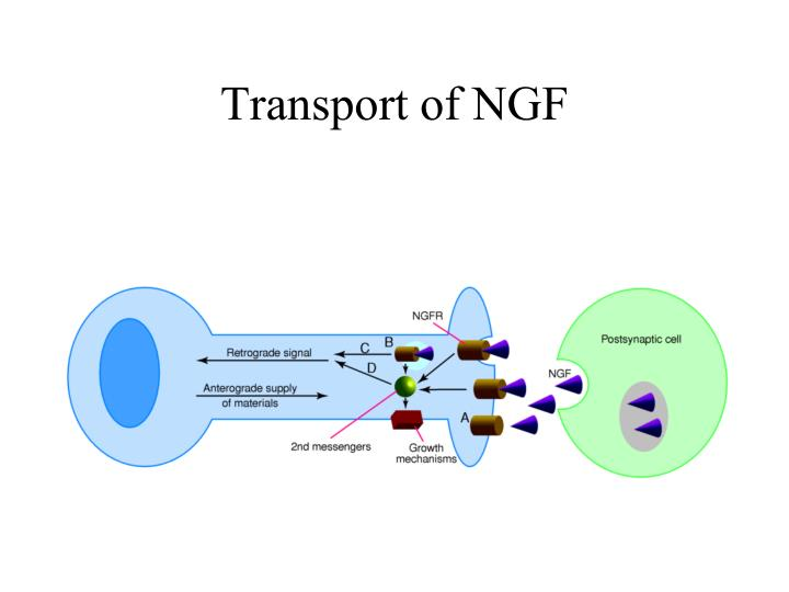 Transport of NGF