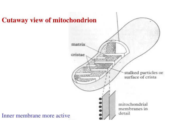 Cutaway view of mitochondrion