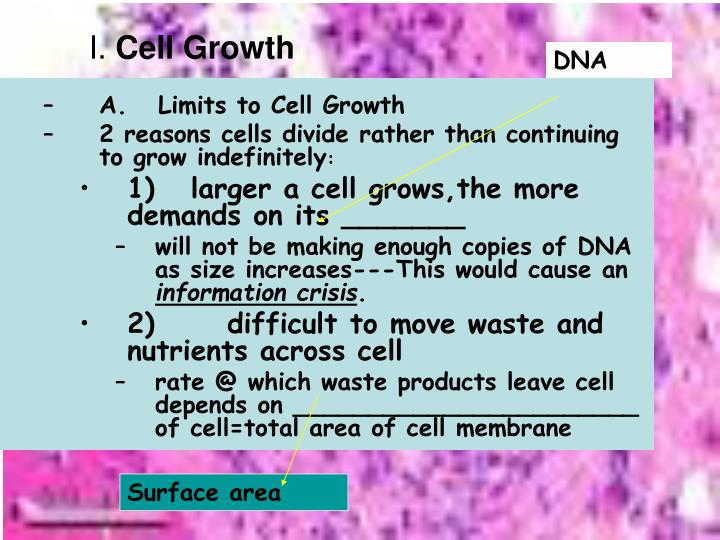 I cell growth