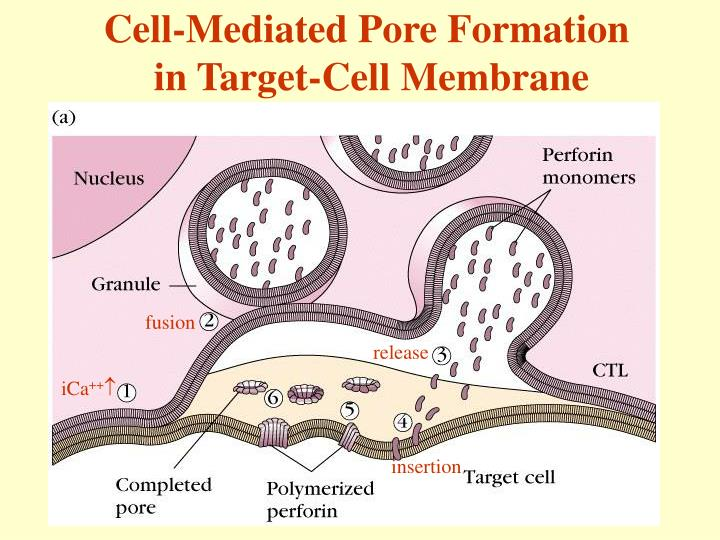 Cell-Mediated Pore Formation