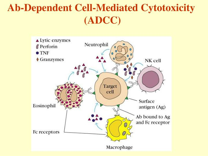 Ab-Dependent Cell-Mediated Cytotoxicity
