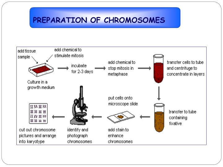 PREPARATION OF CHROMOSOMES