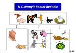 a campylobacter tvitele