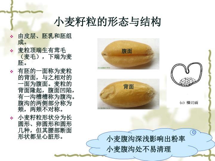小麦籽粒的形态与结构