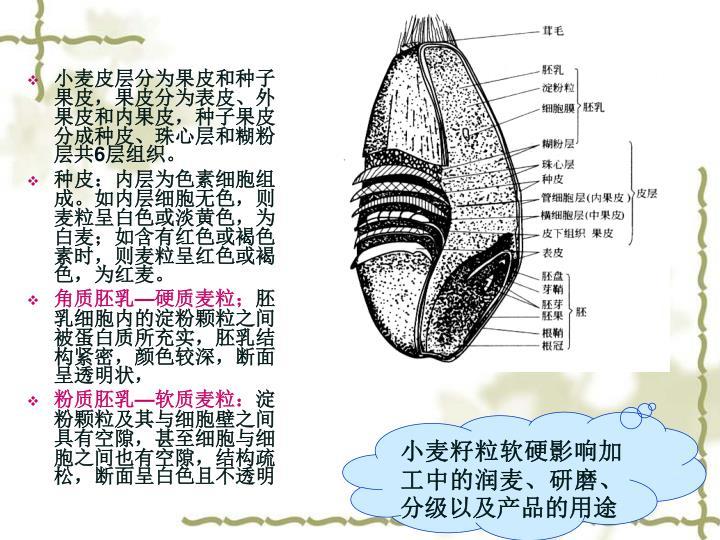 小麦皮层分为果皮和种子果皮,果皮分为表皮、外果皮和内果皮,种子果皮分成种皮、珠心层和糊粉层共