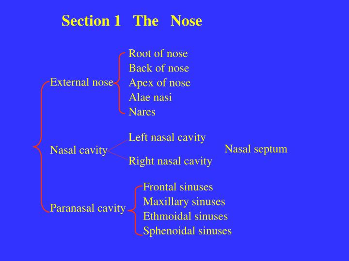 Section 1   The   Nose