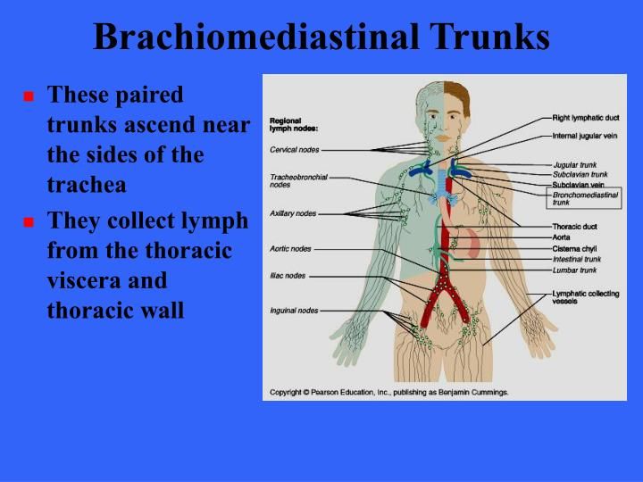 Brachiomediastinal Trunks