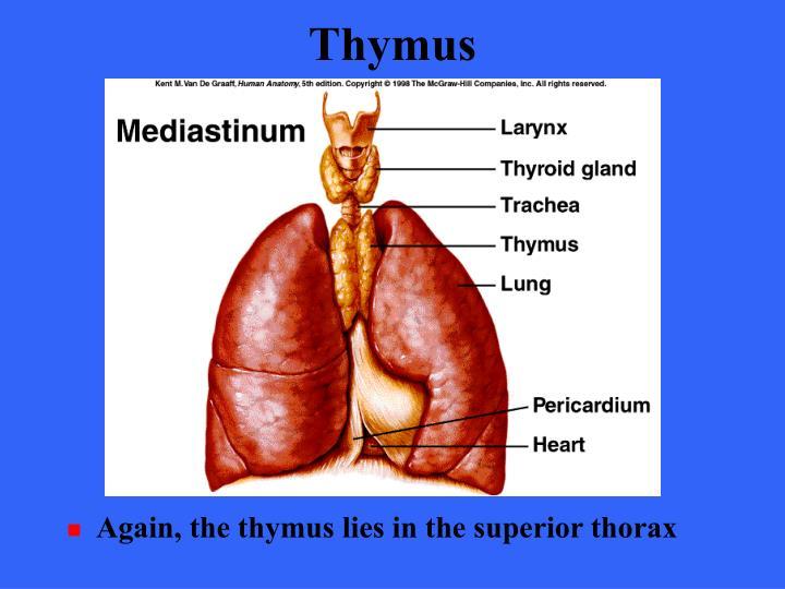 Thymus