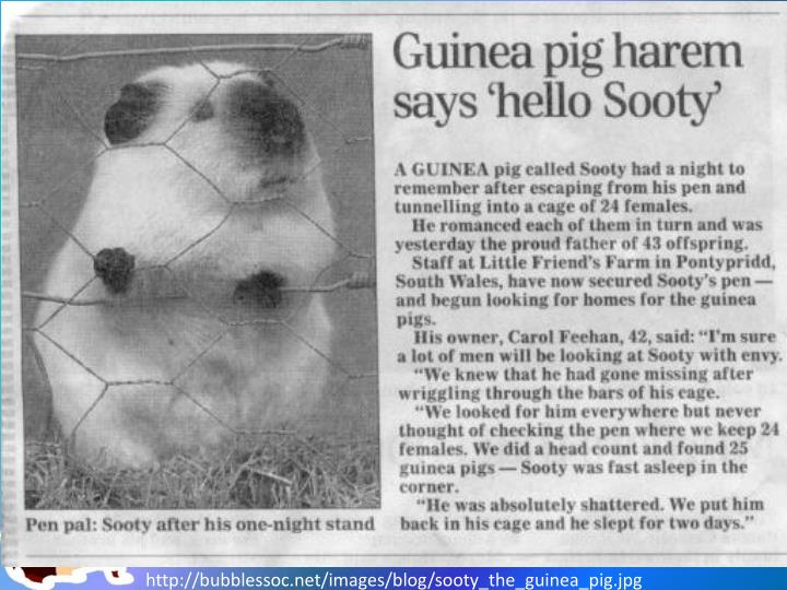 http://bubblessoc.net/images/blog/sooty_the_guinea_pig.jpg