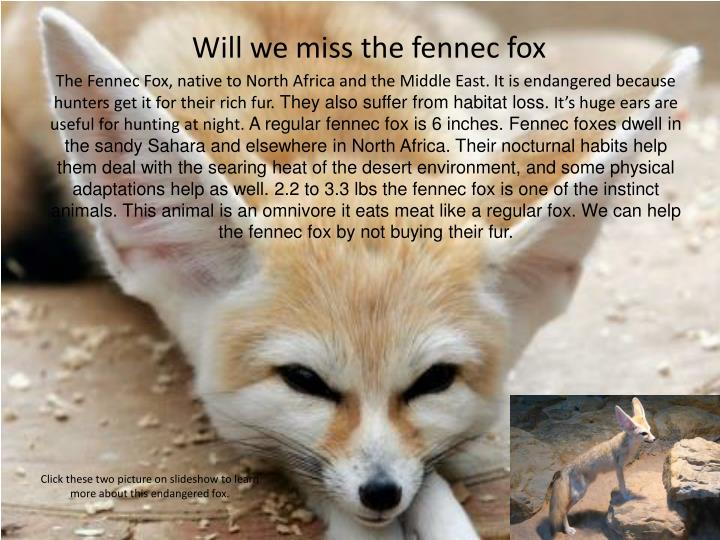 Will we miss the fennec fox